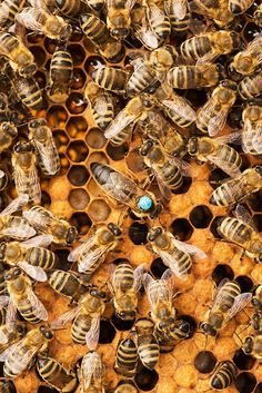 Types Of Bees, Worker Bee, Bee Free, Buzz Bee, Honey Bee Hives, Insect Photography, I Love Bees, Backyard Beekeeping, Bee Photo