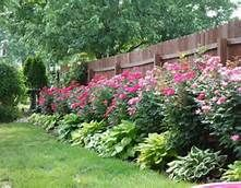 knockout roses and hostas - Bing Images
