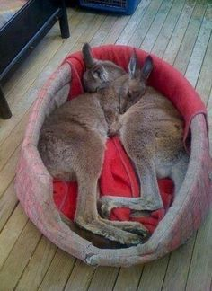 Funny Baby Animals Snuggles 35 Ideas For 2019 Cute Creatures, Beautiful Creatures, Animals Beautiful, Cute Baby Animals, Animals And Pets, Funny Animals, Strange Animals, Kangaroo Baby, Tier Fotos