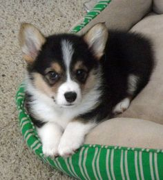Just corgi cute.  Don't you want to cuddle. Z