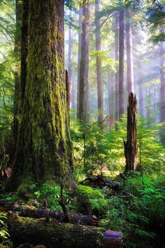 Tale Forest Forest at Sol Duc Falls in Olympic National Forest, Washington. By Inge Johnsson.Forest at Sol Duc Falls in Olympic National Forest, Washington. By Inge Johnsson. Foto Nature, All Nature, Amazing Nature, Nature Tree, Forest Light, Tree Forest, Olympic National Forest, National Parks, Belle Image Nature