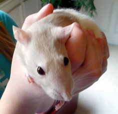Look at this cute rattie! Pets, Animals, Animales, Animaux, Animal, Animais, Dieren