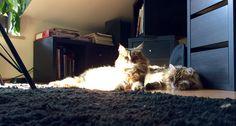 My two fluffy Siberians relaxing in the sunshine. http://ift.tt/2vJL3pw