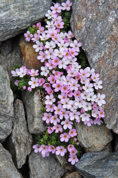 Beautiful things around us added a new photo to the album: Rockery plants and flowers. Rock Flowers, Exotic Flowers, Amazing Flowers, Wild Flowers, Beautiful Flowers, Succulents Garden, Planting Flowers, Alpine Plants, Belle Photo