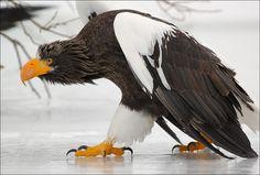 On thin ice. by Igor Shpilenok, via 500px; Steller's Sea Eagle, Kurile Lake, South Kamchatka Santuary, Russia