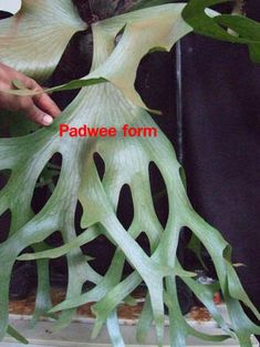 Siam Exotica Plantas de holttumii Platycerium