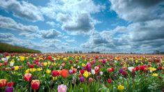 Paisajes De Flores | Campo de flores tulipanes de colores en primavera or beautiful tulips