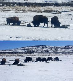 The bison herd at Bear River State Park munching in the winter.