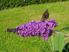 Buddleia Buddleja (davidii) Garden shrub for butterflies