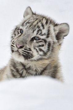 #SnowTiger #Animals