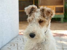 wire fox terrier. i want!