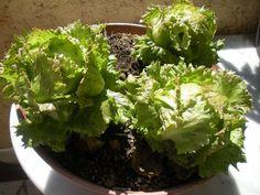 Comment faire pousser des salades sur son balcon
