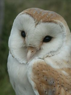 stunning Barn Owl