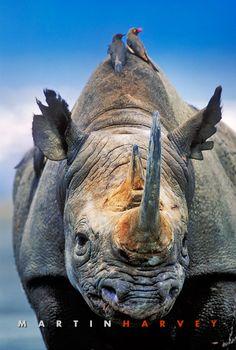 Black Rhino   Martin Harvey Photography