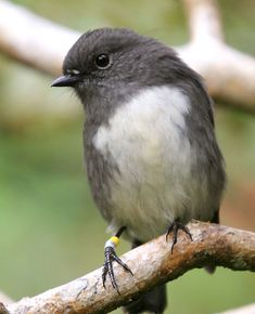 The Black Robin or Chatham Island Robin (Petroica traversi) is an endangered bird from the Chatham Islands off the east coast of New Zealand. Cute Birds, Pretty Birds, Small Birds, Little Birds, Colorful Birds, Beautiful Birds, Chatham Islands, Kinds Of Birds, Exotic Birds