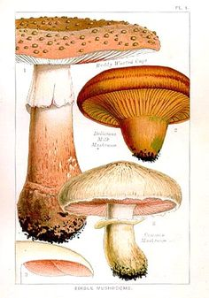 Old print illustrating edible mushrooms.  Our understanding of mushrooms have changed so these aren't always accurate, but they are interesting!