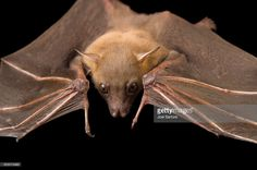 Stock Photo : A lesser short-nosed fruit bat, Cynopterus brachyotis, at the Lubee Bat Conservancy.