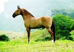 campolina horse - Google Search