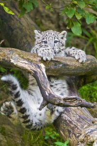 Preview Wallpaper Snow Leopard Cub Branches Trees 320x480