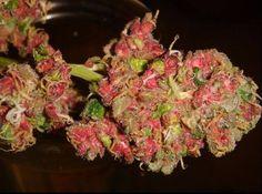 Red Bubblegum Kush