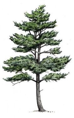 New White Pine Tree Drawing Ideas Pine Tattoo, Oak Tree Tattoo, Pine Tree Art, Drawings Of Trees, Pine Tree Painting, Kiefer Tattoo, Nature Drawing, Drawing Drawing, Paisajes