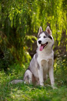 I love huskies they remind me so much of wolves, I can't wait to one day own one