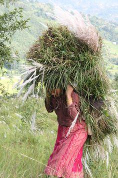 Gras snijden voor de geiten in Nepal.