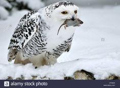 Snowy owl arctic owl owl owls Nyctea scandiaca night birds birds bird Stock Photo, Royalty Free Image: 68427635 - Alamy