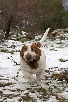 basset hounds running = hilarity