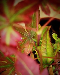 Redleaf Japanese maple bonsai at home by Vyamester on DeviantArt Japanese Maple Bonsai, Deviantart, Facebook, Plants, Plant, Planets