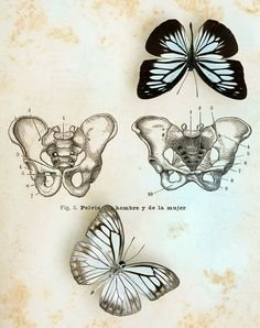 That's quite an image!!  Amazing resemblance of a human pelvis and the outline of a butterfly #jo whaley #wysconcepts