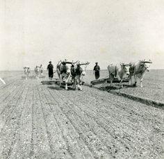 3639 | Noordoostpolder. Beierse ossen. 1945. Bron: Fotocolle… | Flickr