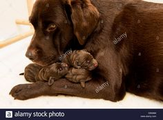 Box Of Chocolate Lab Puppies Chocolate Lab Puppies, Chocolate Box, Dogs And Puppies, Labrador Retriever, Cute Animals, Stock Photos, Pets, Labrador Retrievers, Pretty Animals