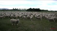 A herd of sheep being funny. One of the more sillier, yet funny animal videos. #funnyvideo