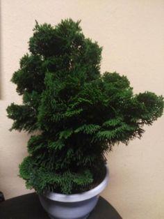 Optisches Highlight mit tollem Farbkontrast. Muschelzypresse Chamaecyparis obtusa Nana Gracilis im Dekotopf. Pflanze ca 35cm hoch und 30cm breit.Selbstabholung erwünscht. Versand nur innerhalb Deutschlands. Versandkosten werden dem Käufer zusätzlich berechnet. Bitte vorher erfragen!Wir kultivieren ein großes Sortiment an Bonsai und Formschnitt Gehölzen sowie Gartenpflanzen. Bei uns finden Sie seltene Pflanzen und Besonderheiten für Ihren Garten in verschiedenen Größen.Besuchen Sie uns auf…