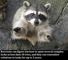 Interesting & Amazing Information On Raccoons The physical description of raccoon entails their striped face and ringe. Cute Animal Memes, Cute Animal Videos, Funny Animal Pictures, Funny Pics, Cute Raccoon, Racoon, Cute Baby Animals, Funny Animals, Animal Babies