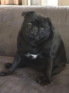 Adorable chubby black pug