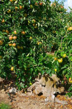 nice Apfelplantage Königreich Numero 13,  #Landleben