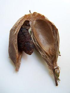 inside a cecropia moth cocoon