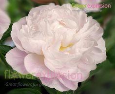 Gardenia Peony