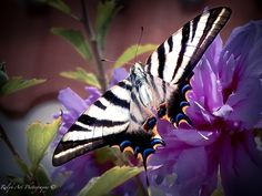 #madamebutterfly #butterfly Madame Butterfly, Photo S, Art Prints, Gallery, Animals, Art Impressions, Roof Rack, Animaux, Fine Art Prints