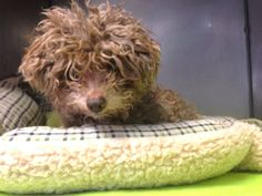 #NewYork ~ Hi, my name is Curlie, I'm a 12yo Poodle mix.  Unfortunately, I'm unable to type as I'm #blind, so 1 of my Little Shelter friends typed my story. I'm a #senior & when I lost my vision I suddenly found myself in shelter. I walked into the walls trying to figure out where I was & soon figured out I was no longer in my home.   Little Shelter rescued me - I'm V sweet <3 LITTLE SHELTER  33 Warner Rd  #Huntington NY 11743  Sat-Sun 12-5pm Mon-Fri 1-7pm  Ph 631-368-8770
