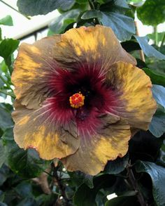 Hibiscus 'Dark Continent'