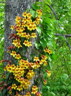 26 best tropical vines images on pinterest nuthatches plants and cross vine trumpet flower mightylinksfo