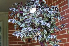 Tradescantia zebrina 'Wandering Jew' - this plant grows well indoors or out, and doesn't mind a bit of direct sunlight.