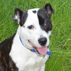 How cute is she and has a heart mark on her head.  Molly is a young Staffordshire Bull Terrier, a rescue dog currently living in Battersea Dogs Home, London.  Hopefully someone will give her a loving home soon.
