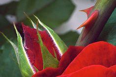 rose plant with thorns - Pesquisa Google