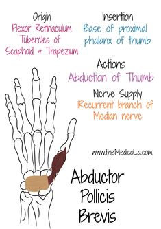 All Upper Limb Muscles Notes & Drawings Hand Therapy, Massage Therapy, Physical Therapy, Muscles Of Upper Limb, Bones And Muscles, Upper Limb Anatomy, Mega Series, Forearm Muscles, Median Nerve