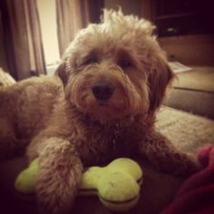 Moose the mini goldendoodle! Red Labradoodle, Mini Goldendoodle, Goldendoodles, Baby Animals, Cute Animals, Puppys, Moose, Dog Cat, Pets