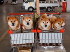 Shopping for Shibas... I buy in bulk :)        (too cute! leaving prior comment cause it's adorable.)